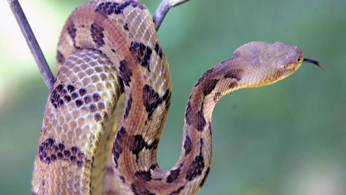 rattlesnake on a branch